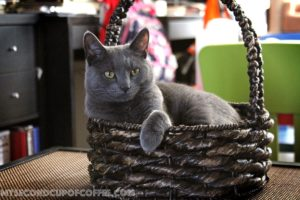 grey cat Russian blue inside the basket the right cat