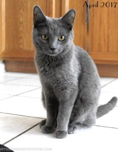 young grey kitten