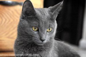young Russian blue kitten grey
